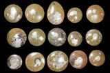 "Wholesale Lot - 2.5 to 3"" Polished Goniatite Fossils - 90 Pieces - #133894-1"