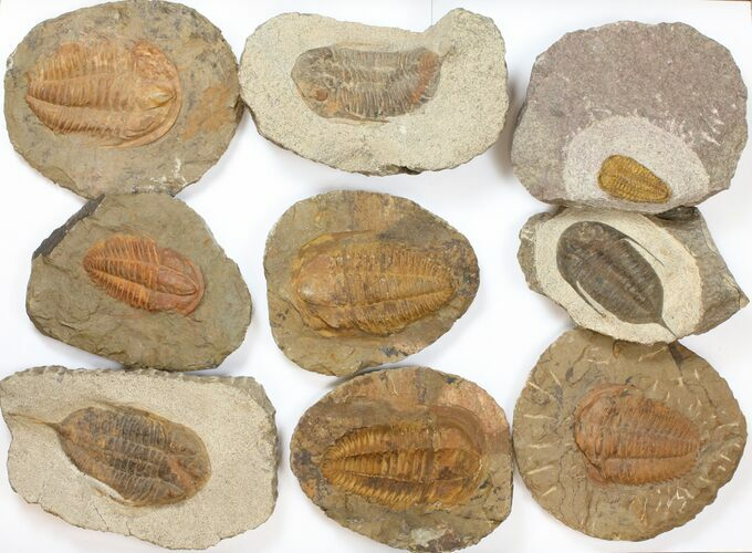 "Wholesale Lot: 1.5 to 4"" Ordovician/Cambrian Trilobites - 8 Pieces"
