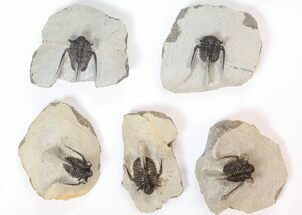 Buy Lot: Spiny Cyphaspis Trilobites - 10 Pieces - #134110