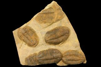 Undescribed Asaphid - Fossils For Sale - #134298