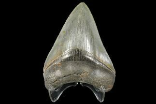 "Buy Serrated, 4.30"" Fossil Megalodon Tooth - South Carolina - #134272"
