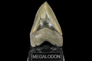 "Buy Serrated, 5.32"" Fossil Megalodon Tooth - South Carolina - #134278"
