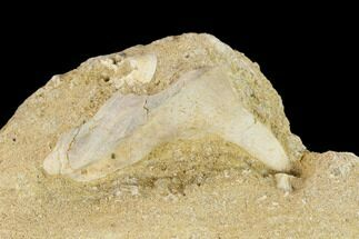"Buy 2"" Fossil Fish (Enchodus) Fang in Rock - Morocco - #134197"