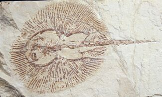 "Buy Fossil Ray (Cyclobatis) From Lebanon - 4.45"" - #9442"
