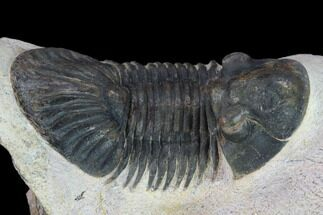 "2.5"" Trilobite (Paralejurus spatuliformis?) Fossil - Morocco For Sale, #134381"