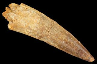 "2.28"" Real Spinosaurus Tooth - Nice Tip For Sale, #134495"