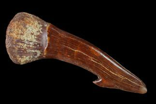 "2.65"" Fossil Sawfish (Onchopristis) Rostral Barb- Morocco For Sale, #135002"