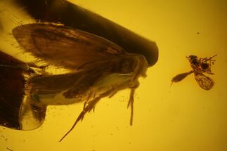Buy Detailed Fossil Caddisfly and Two Flies in Baltic Amber - #135034