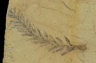 Metasequoia (Dawn Redwood) - Fossils For Sale - #135738