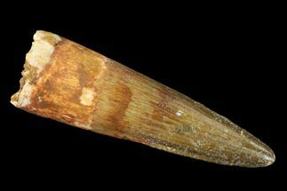 "1.95"" Spinosaurus Tooth - Real Dinosaur Tooth For Sale, #136232"