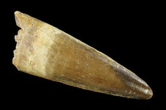 "2.09"" Spinosaurus Tooth - Real Dinosaur Tooth For Sale, #136238"