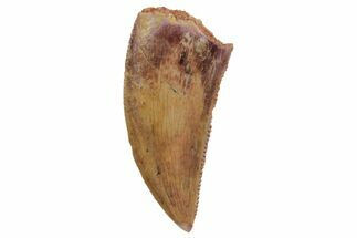 "Buy Serrated, .81"" Raptor Tooth - Real Dinosaur Tooth - #124021"