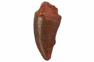 "Bargain, .78"" Raptor Tooth - Real Dinosaur Tooth For Sale, #135179"