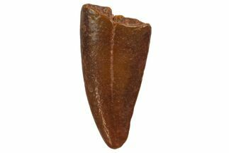 "Buy Bargain, .7"" Raptor Tooth - Real Dinosaur Tooth - #135184"