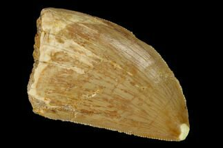 "Serrated, 1.71"" Carcharodontosaurus Tooth - Real Dinosaur Tooth For Sale, #85862"