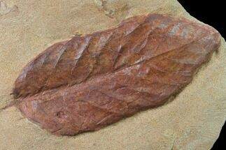 Unidentified Leaf - Fossils For Sale - #135630