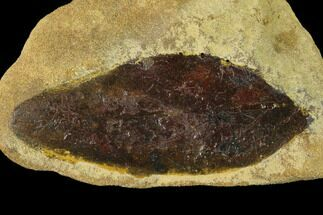 "2.25"" Cretaceous Fossil Leaf (Daphnophyllum) - Kansas For Sale, #136454"