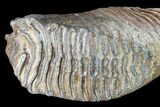 "12.4"" Woolly Mammoth Molar From Poland - Collector Quality! - #136514-2"