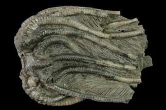 Agaricocrinus splendens - Fossils For Sale - #136536