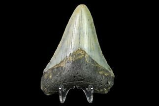 "Buy Bargain, 3.24"" Fossil Megalodon Tooth - North Carolina - #129955"