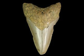 "Buy 3.11"" Fossil Megalodon Tooth - North Carolina - #130075"