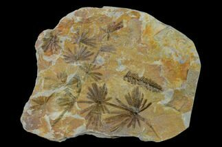 "4.2"" Fossil Horsetail (Annularia) Plate - Pennsylvania For Sale, #136652"