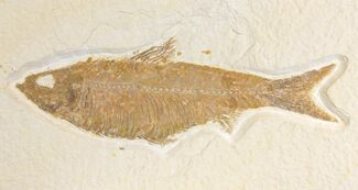 "Buy 5.4"" Fossil Fish (Knightia) - Wyoming - #136768"