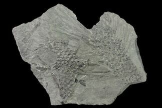 "Buy 5.1"" Pennsylvanian Scale Tree (Lepidodendron) Fossil Plate - Kentucky - #136831"