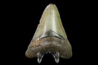 "3.09"" Fossil Megalodon Tooth - North Carolina For Sale, #130028"