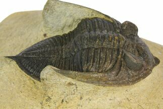 "Bargain, 2.1"" Zlichovaspis Trilobite - Atchana, Morocco For Sale, #137279"