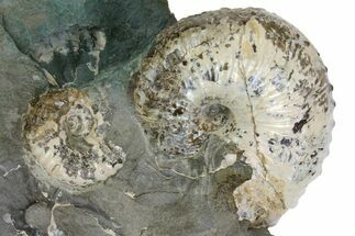 "Buy 2.1"" Fossil Ammonite (Jeletzkytes) - South Dakota - #137287"