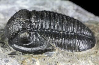 ".75"" Detailed Gerastos Trilobite Fossil - Morocco For Sale, #134090"
