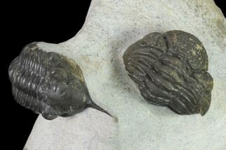 "2.2"" Morocconites Trilobite With Morocops - Ofaten, Morocco For Sale, #137534"
