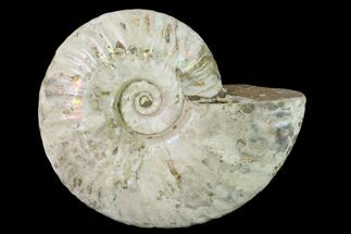 "4.7"" Silver Iridescent Ammonite (Cleoniceras) Fossil - Madagascar For Sale, #137390"