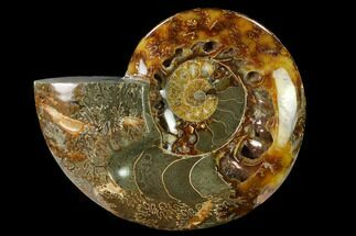 "Buy 5.85"" Wide Polished Fossil Ammonite ""Dish"" - Inlaid Ammonite - #137410"