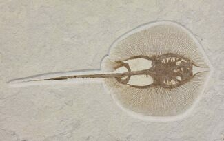 "Buy Rare, 16.3"" Fossil Stingray (Heliobatis) - Wyoming - #137914"