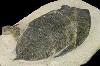 "Bargain, 3.9"" Zlichovaspis Trilobite - Atchana, Morocco For Sale, #137918"