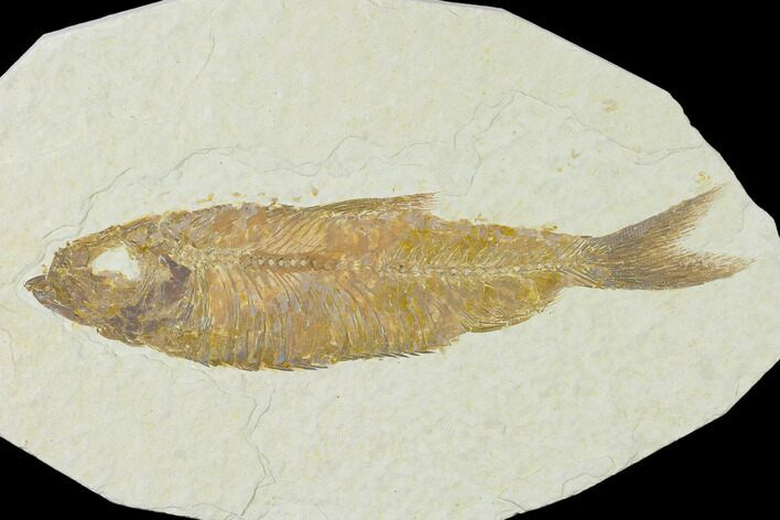 "4.7"" Detailed Fossil Fish (Knightia) - Wyoming"