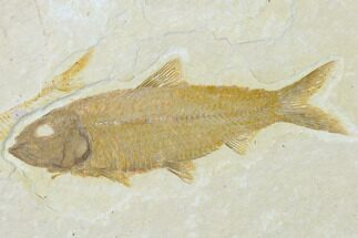 "Buy 3.45"" Detailed Fossil Fish (Knightia) - Wyoming - #137971"
