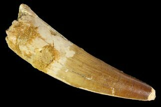 "3.11"" Spinosaurus Tooth - Real Dinosaur Tooth For Sale, #138209"