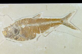 Diplomystus dentatus - Fossils For Sale - #138435