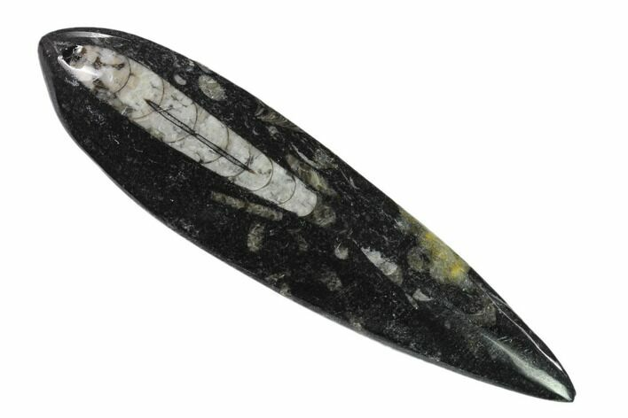 "5.5"" Polished Fossil Orthoceras (Cephalopod) - Morocco"