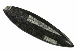 "Buy 5.2"" Bargain Polished Fossil Orthoceras (Cephalopod) - Morocco - #138424"