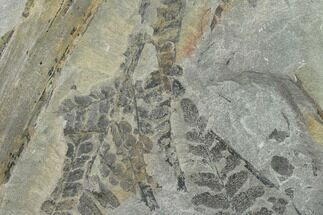 Neuropteris flexuosa - Fossils For Sale - #138525
