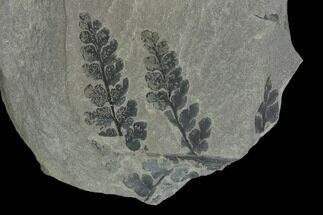 "4.3"" Pennsylvanian Fossil Fern (Sphenopteris) Plate - Kentucky For Sale, #138536"
