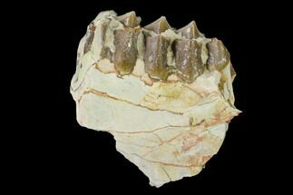 "Buy 1.7"" Oreodont (Merycoidodon) Jaw Section - South Dakota - #136021"