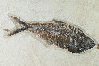 "Buy 8.7"" Fossil Fish (Diplomystus) - Green River Formation - 18 Inch Layer - #138604"