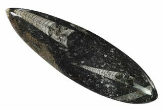 Orthoceras sp. - Fossils For Sale - #138309