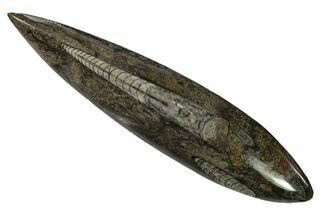 "7.5"" Polished Fossil Orthoceras (Cephalopod) - Morocco For Sale, #138296"