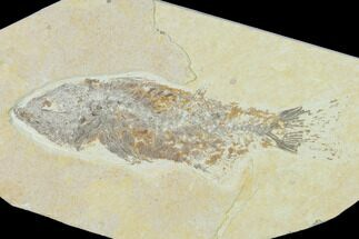 "Buy Bargain, 6.2"" Fossil Fish (Mioplosus) - Wyoming - #138721"